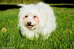 Lucky dog (katelynjackson) Tags: whitedog dog littledog cute maltese