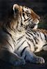 Тигр (Victor NN) Tags: тигр зоопарк zoo tiger калининградскийзоопарк