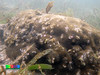 Boulder pore coral (Porites sp.) (wildsingapore) Tags: cyrene porites poritidae cnidaria scleractinia singapore marine coastal intertidal shore seashore marinelife nature wildlife underwater wildsingapore