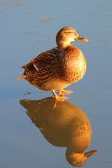 IMG_0748 (Yorkshire Pics) Tags: birds wildlife britishbirds mallard birdsonice ice frozen reflections birdreflections duck fairburnings fairburningsnaturereserve rspbfairburnings