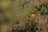 Cerf dans les genévriers (Patrice Baud) Tags: red deer hirsch cerf élaphe cervus cerdagne montagne pyrénées nikon d7100 nikkor wild wildlife mammifère herbivore cérvol ciervo cervo sauvage nikkor300f4 reddeer