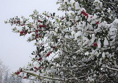 More snow in Vancouver. (France-♥) Tags: 98 winter snow neige vancouver arbre tree nature hiver holly houx bc canada