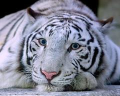 Очи Прекрасные (Belteshazzar (AKA Harimau Kayu)) Tags: apollo tiger zoo animal bigcat bigcats feline bengaltiger pantheratigristigris königstiger indischertiger eltigredebengala tigredubengale latigrerealedelbengala бенгальскийтигр 孟加拉虎 whitetiger weisertiger tigreblanco tigreblancroyal белыйтигр 孟加拉白虎 zooshot tobu tobuzoo snowwhite mirrormirror babytiger baby kid keddo