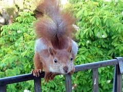 """Aug' in Aug' vor meinem Fenster ... (flixx-ak) Tags: flixxakoffenbachammainhessen deutschland germany """"anvormeinemfenster"""" eichhörnchen squirrel 2016 auginaug"""