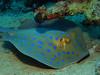 Blue spotten stingray (Lerotic) Tags: uw underwater egypt redsea scuba diving