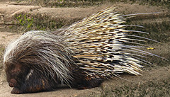 Big Porcupine! ('cosmicgirl1960' NEW CANON CAMERA) Tags: animal ouch prick spike spikey prickly zoo paignton nature yabbadabbadoo porcupine