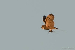 Short-eared Owl (Asio flammeus) with Rodent (Susan Jarnagin) Tags: mercercounty shortearedowl mercermeadowspolefarm asioflammeus owl nj bird