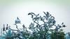 Family Tree!! (raveclix) Tags: raveclix india incredibleindia canon sigma canon5dmarkiii sigma150500mmf563apodgoshsm jakkurlake birds pelican pelecanusphilippensis spotbilledpelican jakkur bangalore migratorybirds