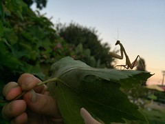 (thefoxyfoxofthewest) Tags: mantis religiosa praying