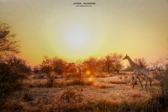 Sunsets on the savannah (Chiara Salvadori) Tags: krugernationalpark southafrica africa kruger sudafrica animal bush colors dirt dry giraffe landscape light nature orange outdoor safari savannah scenery sea spring sun sundown sunset travel traveling wild winter
