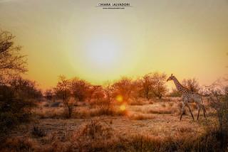 Sunsets on the savannah