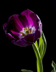 Purple Tulip With Back Lighting (Bill Gracey 15 Million Views) Tags: tulip color colorful purple green nature fleur flower flor offcameraflash backlit backlighting strobes yongnuorf603n yongnuo softbox roguegrid