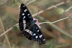 Limenitis reducta - the Southern White Admiral (BugsAlive) Tags: butterfly butterflies mariposa papillon farfalla schmetterling бабочка animal outdoor insects insect lepidoptera macro nature nymphalidae limenitisreducta southernwhiteadmiral sylvainazuré ninfadelosarroyos blauschwarzereisvogel limenitidinae wildlife ardèche plateaudesgras bidon liveinsects france
