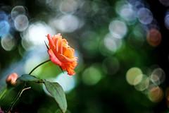 Orange Rose (AdrianoSetimo) Tags: orange laranja rose rosa orangerose bokeh dof depthoffield canonfd50mmssc14 canonfd olympusomdem10 olympus minasgerais santabárbara flor flower plant planta