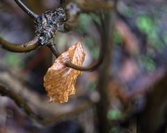 Impaled (Fourteenfoottiger) Tags: impaled twigs branch woods woodland helios44m manualfocus manual leaf lone single caught nature golden swirlybokeh bokeh swirly rain wet glisten raining weather textures