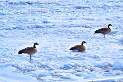 Fort Benton Geese (SocialDeviance) Tags: adventure wanderlust wildernessculture water wilderness wildsights western wander winter walk earthporn explore exploration earth exploring explorer beautiful getlost d3100 river canadiangeese geese trippy travel outdoors inlovewithastate nikon bigskystate fortbenton montana pristine birds snow ice iceflows fierce happiness nikond3100 nikonphotography lastbestplace backwoods ngc nationalforest naturalfeature nature natural mountains