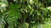 Green is everywhere (loddeur) Tags: saba stmaarten green leaves jungle rainforest antilles netherlands regenwoud nevelwoud texture nature wild forest