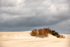 Surviving (RWYoung Images) Tags: rwyoung canon 5d3 sand dune beach plant bush cloud storm southaustralia