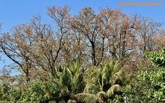 Bucare, Mulungu, Eryhtrina Woods, El Salvador (ssspnnn) Tags: arvores bosque woods fabaceae leguminosas elsalvador canoneos70d snunes nunes spnunes spereiranunes bucare mulungu erythrinaglauca erythrinaverna mongoleiro flordecoral