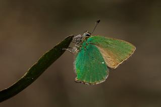 Callophrys rubi (2)