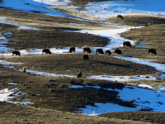 Bison (Ramona H) Tags: bison yellowston gardiner gardinermt yellowstoneriver winter snow