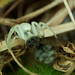 White-death Crab-spider (Misumena vatia)