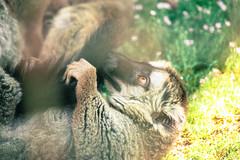 IMG_0872-2 (joaopedrodias) Tags: life green portugal nature colors nova birds animals canon de happy eos zoo live wildlife north lion vila safari dirt porto tigers lemurs mm gaia santo zoologic inácio 450d 55250