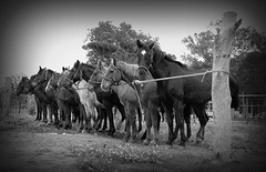 Tropilha de aporreados (Eduardo Amorim) Tags: brazil horses horse southamerica field brasil caballo cheval caballos campo cavalos pferde cavalli cavallo cavalo pferd riograndedosul pampa champ hest hevonen campanha brsil chevaux  amricadosul fronteira hst  amriquedusud   sudamrica suramrica amricadelsur  sdamerika   americadelsud santavitriadopalmar  americameridionale auffangen eduardoamorim