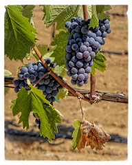 Ripe for the Picking (lennycarl08) Tags: california vineyard wine vine vineyards grapes winecountry