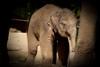 It's a boy ! SUNAY (K.Verhulst) Tags: elephant rotterdam blijdorp elephants nl blijdorpzoo olifanten diergaardeblijdorp sunay rotterdamzoo aziatischeolifant asiaticelephants aziatischeolifanten