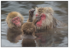 Snow Monkeys, Macaca (Macaca fuscata) (Japanse makaak) in het Jigokudani Monkey Park, nabij Nagano in Japan …. (Martha de Jong-Lantink) Tags: japan nagano macaque 2015 snowmonkeys macaca macacafuscata japansemakaak jigokudanimonkeypark squiver sneeuwapen
