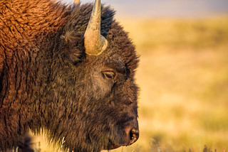 Warm Bison