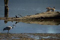 (Ian Threlkeld) Tags: canada nature birds geese nikon bc britishcolumbia wildlife ducks explore pacificnorthwest westcoast pnw irt sandhillcranes naturephotography nikonphotos bcoutdoors pittmeadows beautifulbc wildlifephotography alouetteriver nikonphotography hellobc explorebc d7000 pittmeadowsdykes mynikonlife