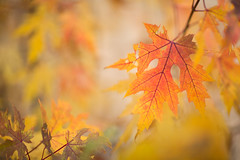 October - Chicago (Brennan Anderson) Tags: red orange fallleaves fall leaves fallcolors 12 f12 85l 85mmf12lii 5d3 5dmarkiii