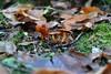 Cortinarius orellanus (Segfault79) Tags: wood nature mushroom outdoor natura poisonous deadly bosco fungo mortale velenoso cortinario cortinariusorellanus