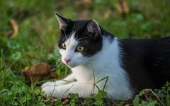 cat (11) (Vlado Ferenčić) Tags: cats animals croatia catsdogs podravina hrvatska nikkor8020028 nikond600