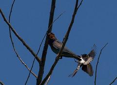 willy attacks-9701 (rawshorty) Tags: birds australia canberra act rawshorty