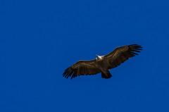Vautour fauve (JeanJoachim) Tags: bird pássaro aves fugl oiseau vogel uccello ptak fågel lintu accipitridae gypsfulvus птица griffonvulture accipitriformes vautourfauve バード smcpentaxda300mmf4edifsdm pentaxk5iis