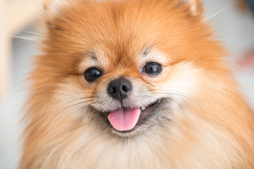 orange pomeranian puppy the world s best photos of funny and pomeranian flickr 1916