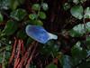 Blue pouch fungus (Home Land & Sea) Tags: blue autumn newzealand pouch fungus nz pointshoot sonycybershot hawkesbay puketitiri homelandsea ballsclearing dschx100v