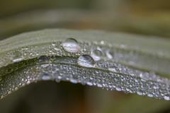 Tropfenfreude (luna3884) Tags: morning plant green wet pflanze wiese drop dew gras tau grn makro morgen morningdew tropfen morgens nass morgentau feucht