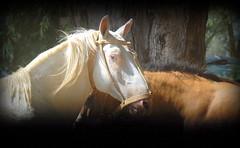 Mirada 'e bagual (Eduardo Amorim) Tags: horses horse southamerica argentina criollo caballo cheval caballos cavalos pferde herd cavalli cavallo cavalo pferd ayacucho chevaux cavall  amricadosul amriquedusud provinciadebuenosaires   sudamrica suramrica amricadelsur sdamerika crioulo caballoscriollos criollos  tropillas buenosairesprovince americadelsud tropilhas tropilla crioulos cavalocrioulo americameridionale tropilha caballocriollo eduardoamorim cavaloscrioulos