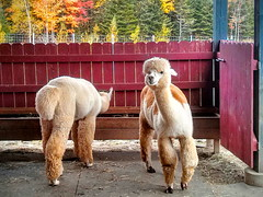 cute alpacas (angelinas) Tags: cute fall nature animals quebec outdoor natura cuddly animaux alpacas brome alpagas alpacafarms