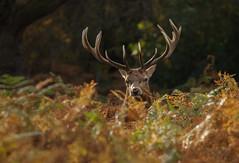 Red-Deer-9659 (Kulama) Tags: autumn nature woods wildlife deer autumncolours reddeer