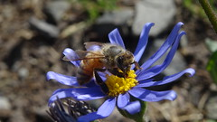 DSC03032 (Laurence Bee) Tags: flower macro nature animal insect bright outdoor bees bee honey nectar bumble apis mellifera specnature depth field specanimal