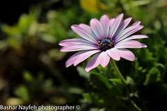 flower (bashar_jn) Tags: camera city blue winter light red people baby plant flower macro green slr art love canon lens fun photography eos photo funny photographer post bokeh outdoor palestine petal r dslr depth beatiful filed natuer canonphoto a2300 canon700d canoneos700d instagramapp eos700d