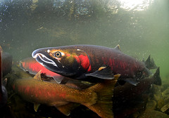 Close to Coho (Fish as art) Tags: fishing nikon salmon flyfishing fraserriver biodiversity underwaterphotography fisheries lachs fischerei vedderriver cohosalmon paulvecseiphotography salmonbiodiversity lachseunterwasser