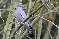 _DSC5053 Houtduif : Pigeon ramier : Columba palumbus : Ringeltaube : Wood Pigeon