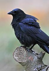 Bit of a flutter... (Ian A Photography) Tags: birds britishbirds corvids crow gardenbirds nature nikon portraits ukbirds ukwildlife goldwildlife