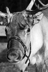 Stable light. (Avian Sky) Tags: reindeer christmas animal deer xmas festive yule season rangifertarandus canon7d
